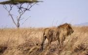 Male lion on the savannah