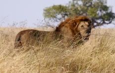 Male lion posing