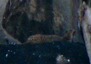 Cheetah lying on rock ledge