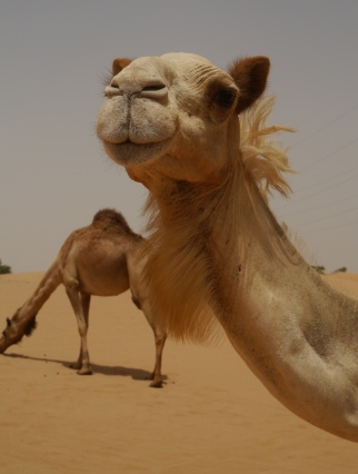 Camels are friendlier than they look.