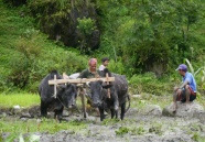 Plowing rice paddy