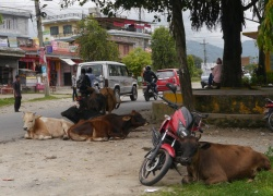 Like in India, cows are sacred in Nepal and roam the streets.