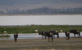 Flamingoes and wildebeests