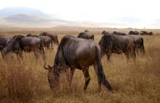 More wildebeests
