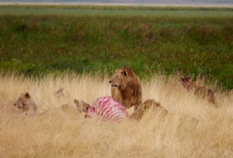 Two male and two female lions with their latest kill - African Buffalo.