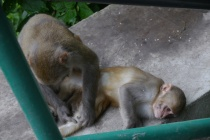 Red monkeys grooming each other
