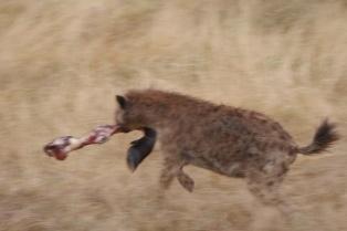 Quick hyena runs off with a leg bone.