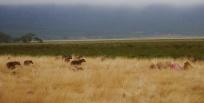 Hyenas and jackals wait..