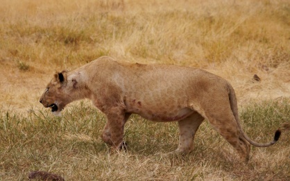 Lioness leaves with full belly.