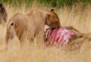 Lioness enjoying rib meat