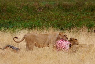 The lions take their own sweet time.