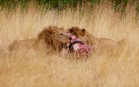 After this kill, the lions won't eat again for 3 to 4 days.