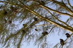 So many baboons in one tree