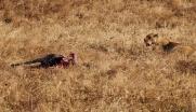 Lioness guards her fresh kill, zebra - minus the head!