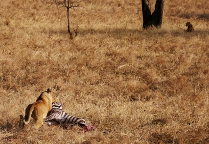 Lioness decides to drag the zebra back to the pride.