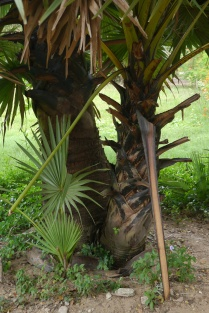 Khmer Rouge guards used the spiked branches from palm trees to slit victims' throats.