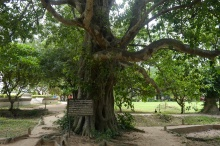 From this tree, the Khmer Rouge hung loud speakers. At night, music would play to drown out the screaming of those being executed.