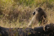Baboon in charge