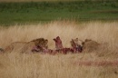 Nearly an hour later, the lions are still eating.