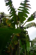 This family was Tier 3. They had many crops and fruit trees, including banana.
