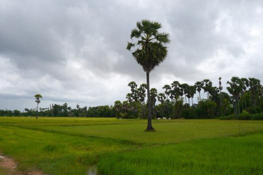 Bright green rice fields