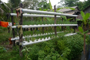 Growing green onions in pipe