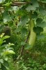 Giant cucumber-like fruit