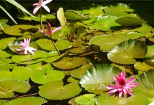 Water lilies at the hotel's ponds