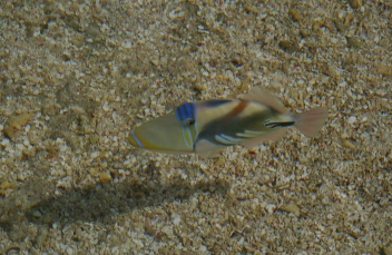 This is my favorite fish: the Picasso Fish. Spectacular color!