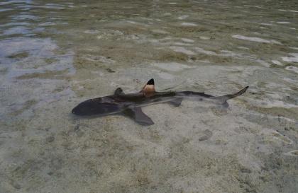Black-tip shark moves in during feeding time.