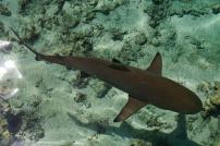 Another black-tip shark... harmless