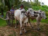 Neerav and Aidan climb into their oxen cart.